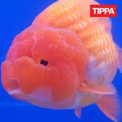 TIPPA: Ikuisuus